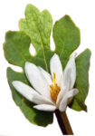 Bloodroot Flower and Leaf