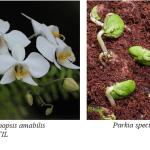 contoh klasifikasi spermatophyta angiospermae