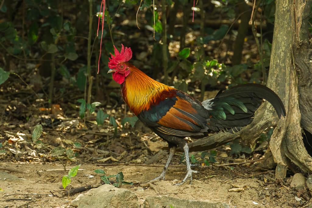 ayam jenis Red Junglefowl