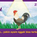 Masa sih ayam tidak bisa terbang