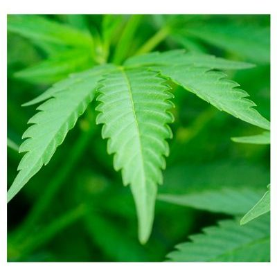 Cannabis Hemp Oil ZenJenSkin