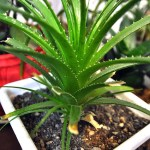 Aloe Vera in Skin care