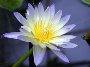 aquatic aquatic plant beautiful bloom