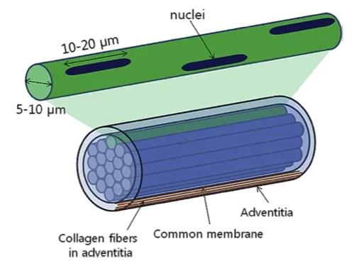 Fig. 5 - Un singolo dotto di secondo ordine (in alto) e un fascio di dotti del Primo Vascular System (in basso) [tratto da: Stefanov M et al, J Acupunct Meridian Stud 2013;6(6):331e338].
