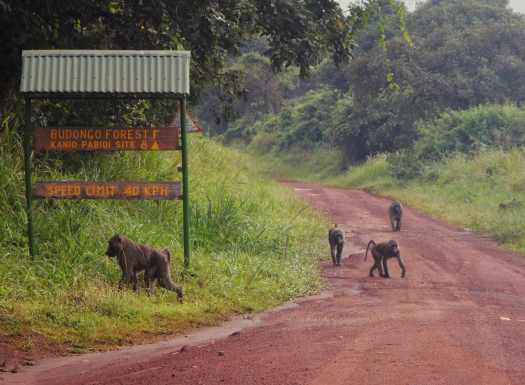 Baboons at the Murchison Falls National Park Gate
