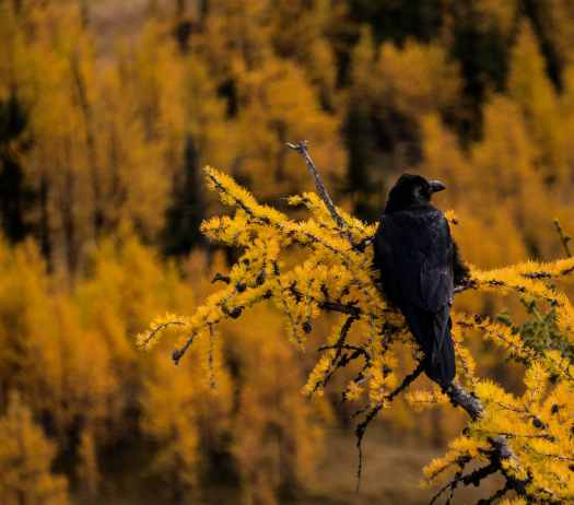 Raven overlooking golden larch trees