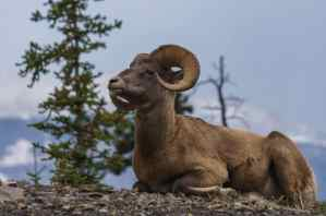 Big Horn Sheep with the Sony 55-210.