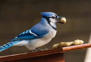 Blue Jay with a Peanut - taken with the Sony 55-210 & Olympus Teleconverter