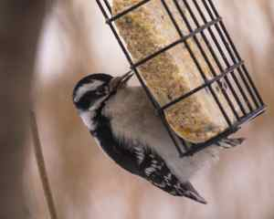 Up close with a Downy Woodpecker at our Suet Cage.