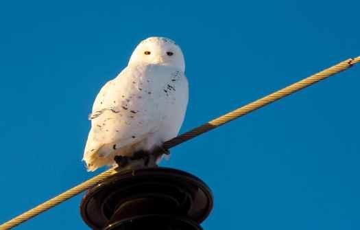 Snowy Owl taken with the Sony 55-210 and Olympus TCON-17x
