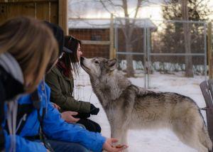 Wolfdog boop in the yamnuska wolfdog enclosure