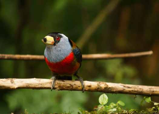 Toucan Barbet at San Tadeo Mindo