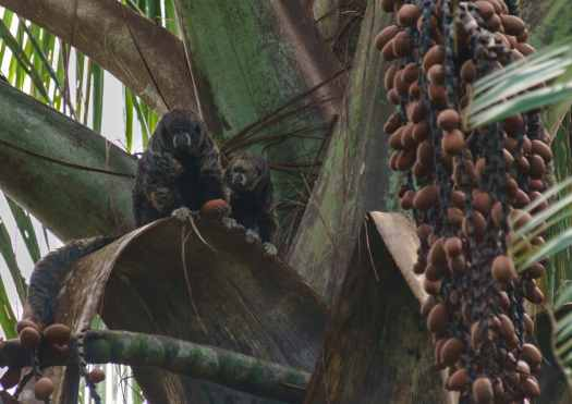 Black Saki Monkeys in the Amazon
