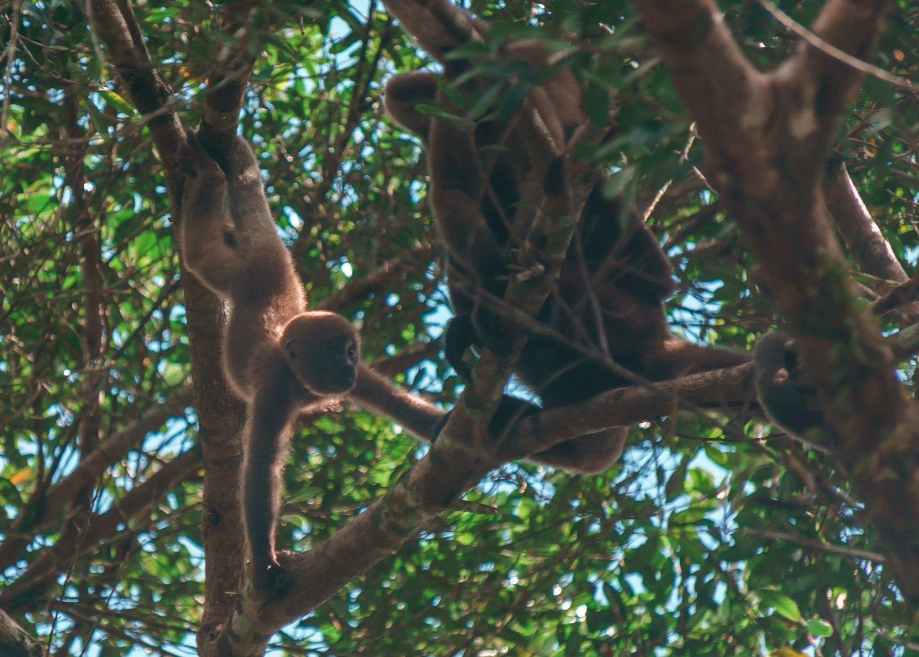 Red Faced Monkey In The Ecuador Amazon