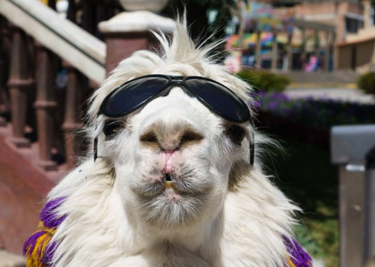 Alpaca with sunglasses in Huaraz