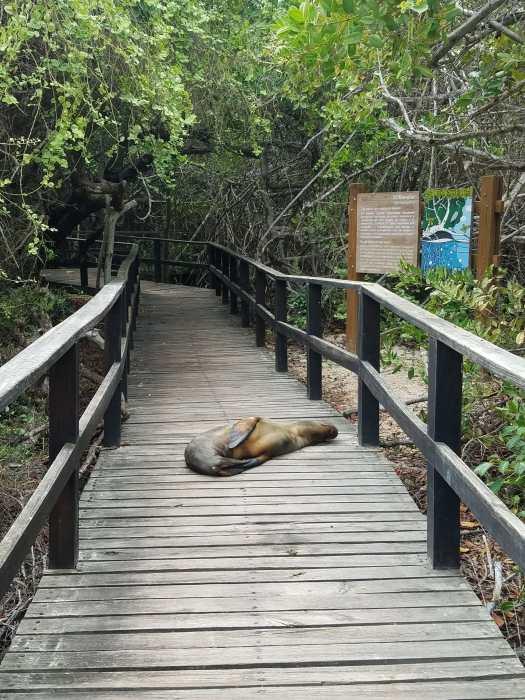 Sea Lions regularly block the path at Concha de Perla