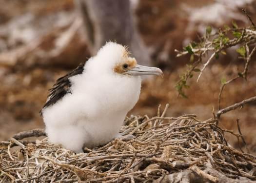 Baby Frigate Bird on Galapagos Islands