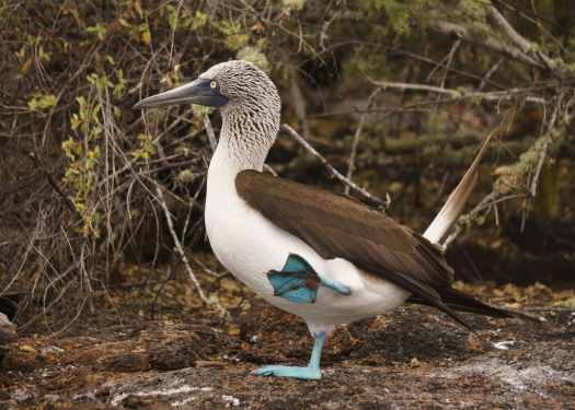 Blue Footed Booby Dancing for a Mate