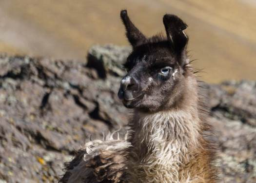 Llama on the Cordillera Real Bolivia