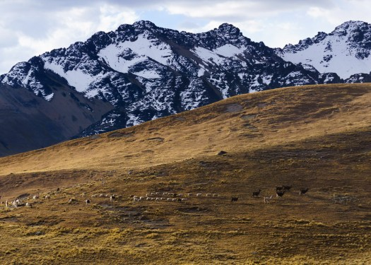 Llamas returning home for the night in the Cordillera Real