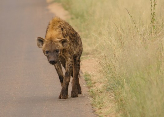 Hyena at Kruger National Park