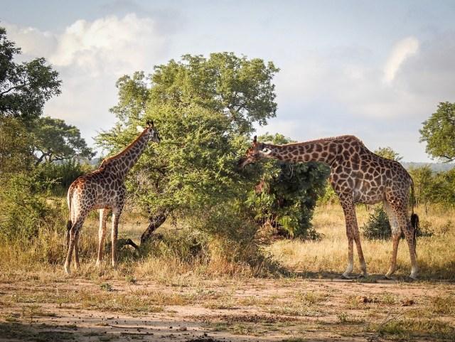 South Africa Safari Giraffes