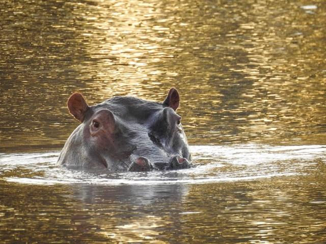 South Africa Safari Hippo