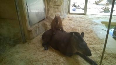 Notgeiles Wasserschwein vergenusswurzelt Tapir