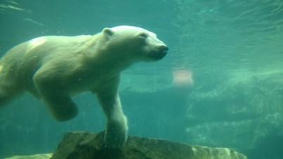 Eisibär