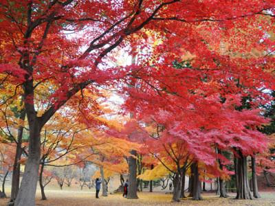 秋の大きな木の紅葉
