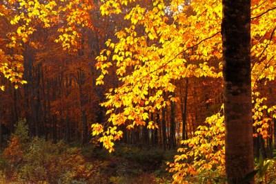 秋の黄色い紅葉