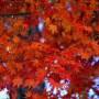 秋の楓の紅葉