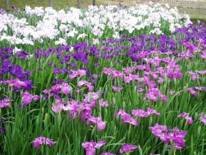 色とりどりスイセンの花