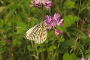 初夏のれんげとアゲハ蝶