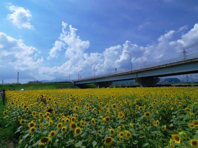 夏のひまわり畑と青空