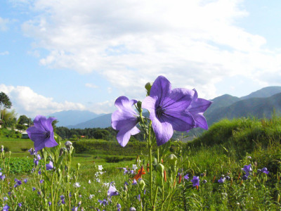 夏山の紫の花と草原と青空