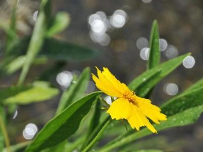 夏の黄色い花と朝露