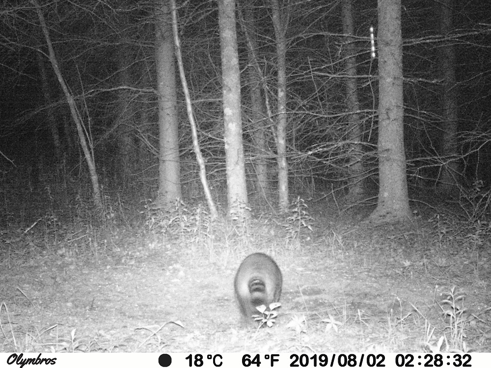 raccoon trail camera