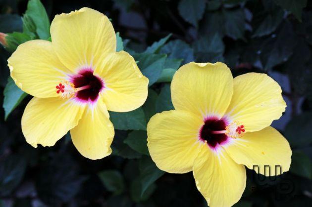 Hibiscus gialli
