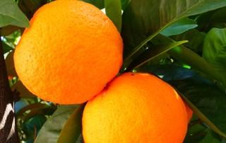 oranges-5383