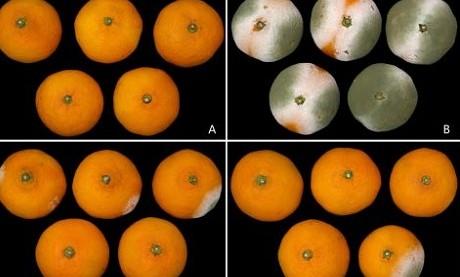 Citrus_penicillium_index