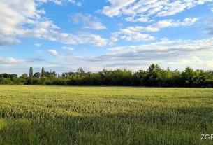 žitno polje - pšenica - črnkovec, velika gorica - lipanj 2020.