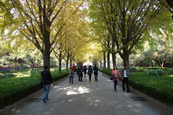 Path into Yonghegong: Gingko Trees in Autumn