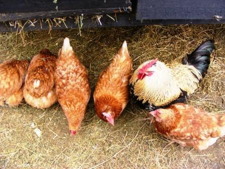 În loc să se trateze, îngrășa găinile cu medicamente
