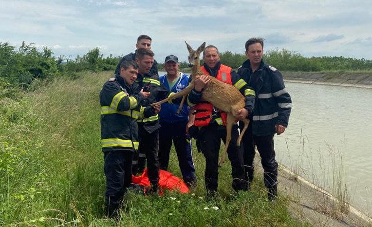 Căprioară căzută într-un canal, salvată de pompieri