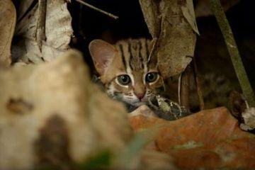 Il gatto selvatico più piccolo del  mondo. Talmente simpatico che verrebbe voglia di tenerlo in casa