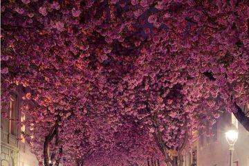 """Gli incredibili  """"tunnel di alberi"""" di ciliegio nella città vecchia di Bonn, in Germania"""