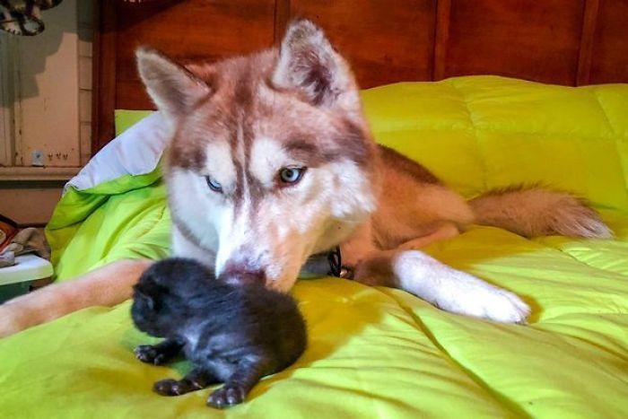 Cane di razza Husky salva e adotta 7 gattini abbandonati