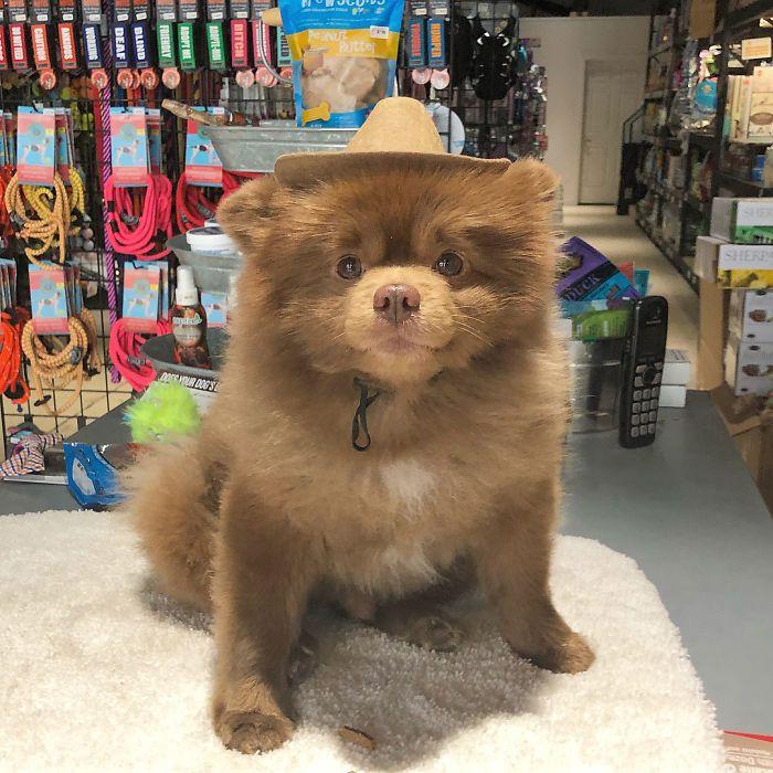 Un cane di razza pomeriana che assomiglia ad un orsetto