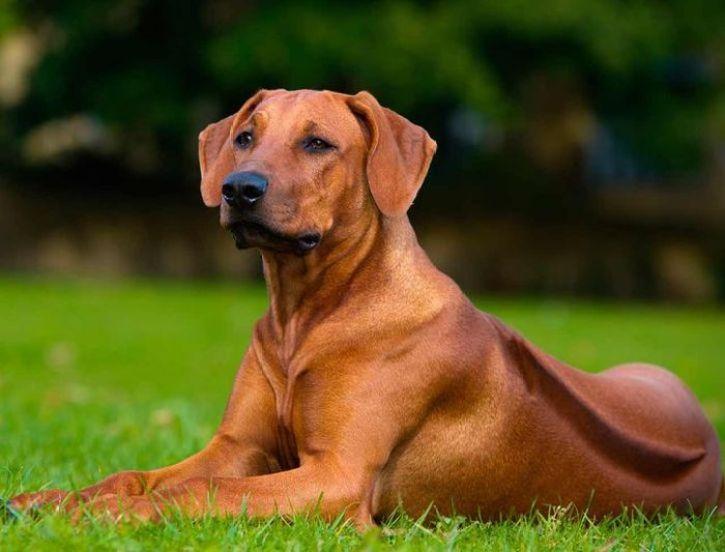 Dieci tra le razze di cani più rare e meno conosciute Ridgeback